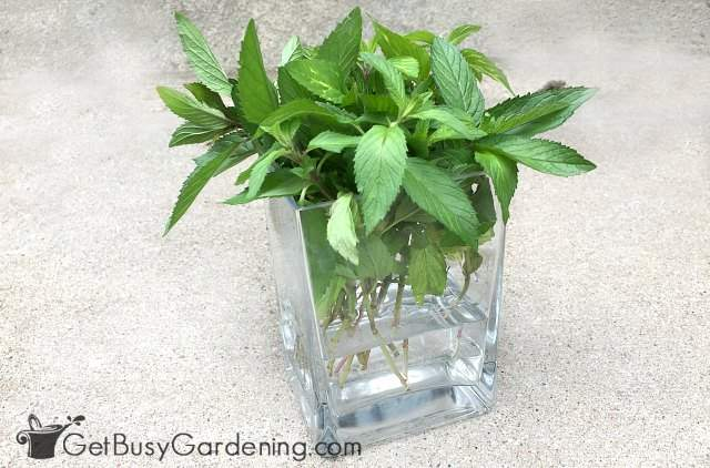 Propagating mint in water