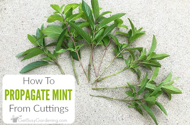 Propagating Mint Plants From Cuttings Step By