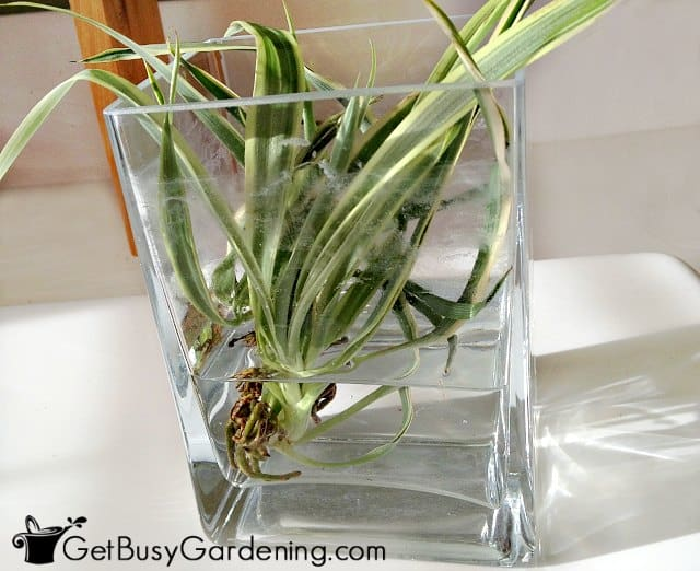Propagating spider plants in water