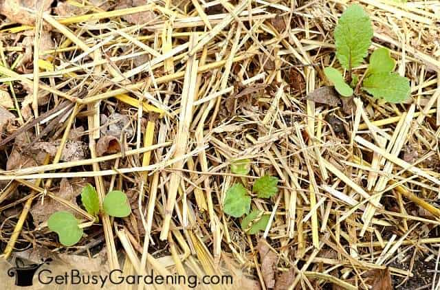 Straw mulch in my vegetable garden