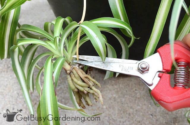 Taking cuttings from spider plants