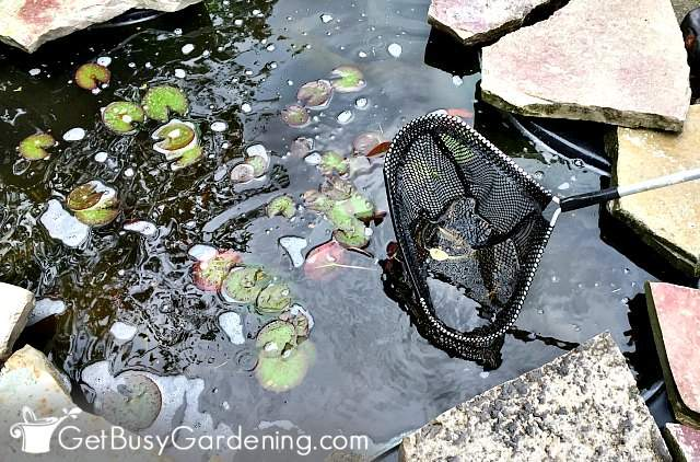 Using my pond cleaning net to skim the top of pond water
