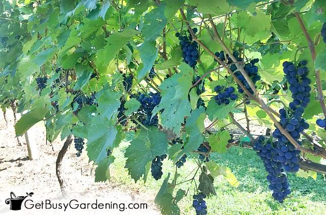Grapes hanging from a grapevine trellis
