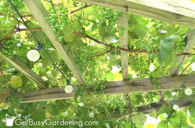 Grapes hanging down from the top of our grapevine pergola