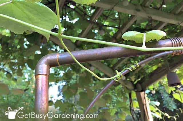 Grapevines grow tendrils that grab onto a trellis