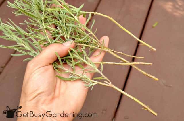 Growing lavender from cuttings