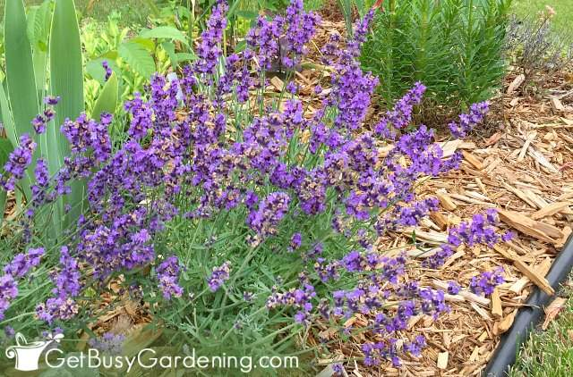 Hardy English lavender plants growing in my garden