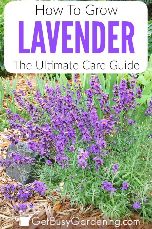 Lavender is an easy-to-grow, drought tolerant herb with beautiful flowers used to make essential oils. No matter if you grow English, French or Spanish varieties, care is the same for all types. Learn how to grow lavender indoors or outdoors, in the garden or pots in this detailed lavender plant care guide. Includes tips for planting, watering, soil, pruning, propagation, bugs, growing from seed, harvesting, problems, what to do in winter, and more!
