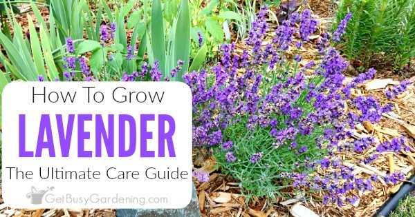 How To Care For Lavender Plants Get Busy Gardening
