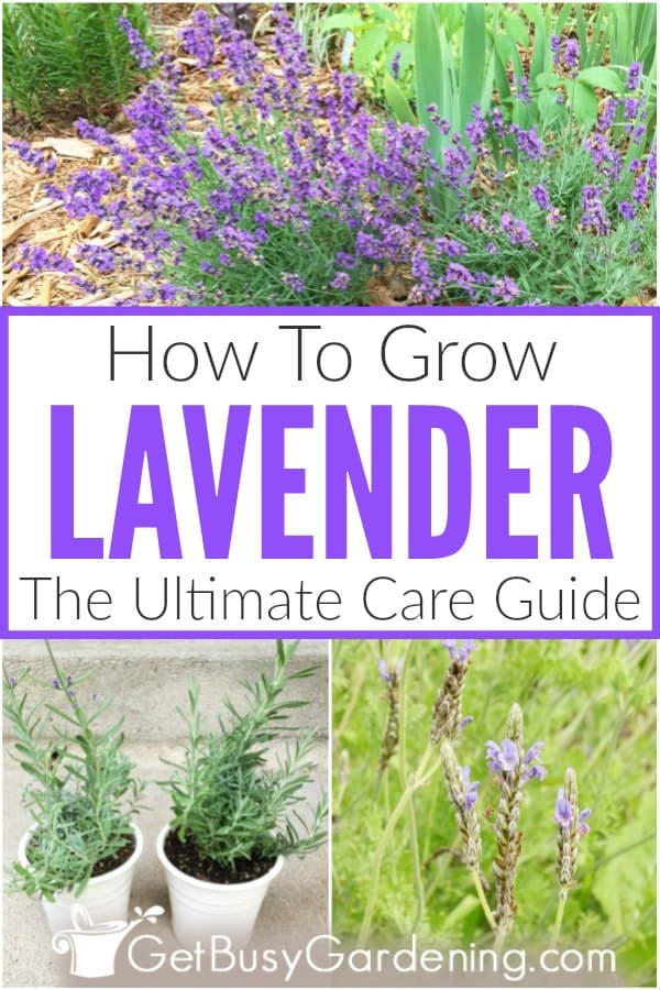 How To Grow Lavender: The Ultimate Care Guide