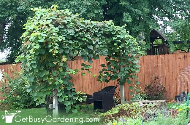 Our pergola with grapevines growing on it
