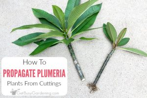 How To Propagate Plumeria From Cuttings