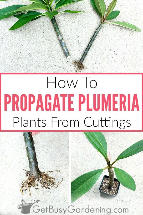 How To Propagate Plumeria Plants From Cuttings