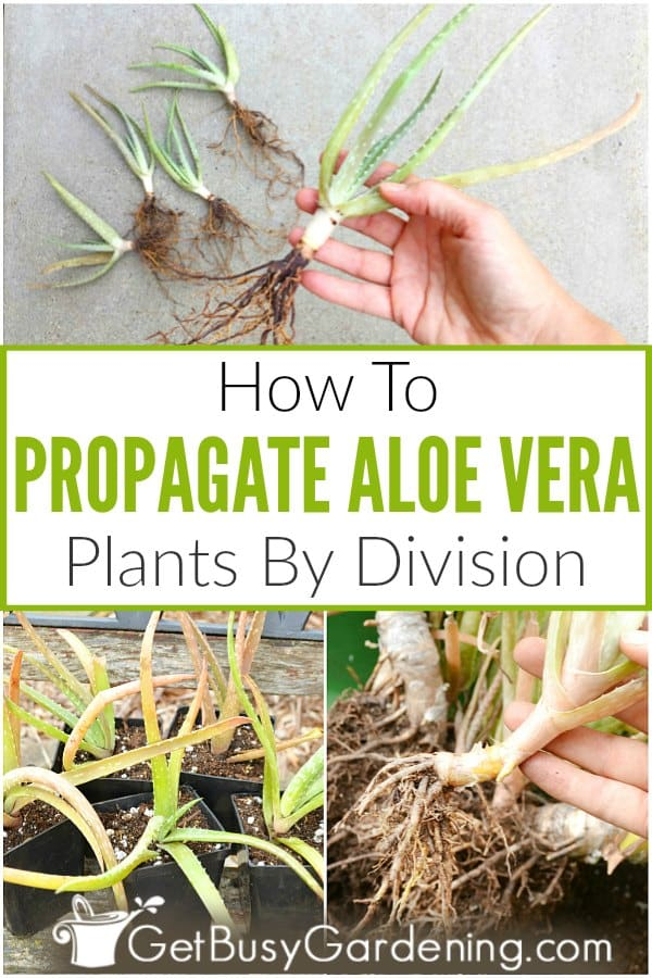 How To Propagate Aloe Vera Plants By Division