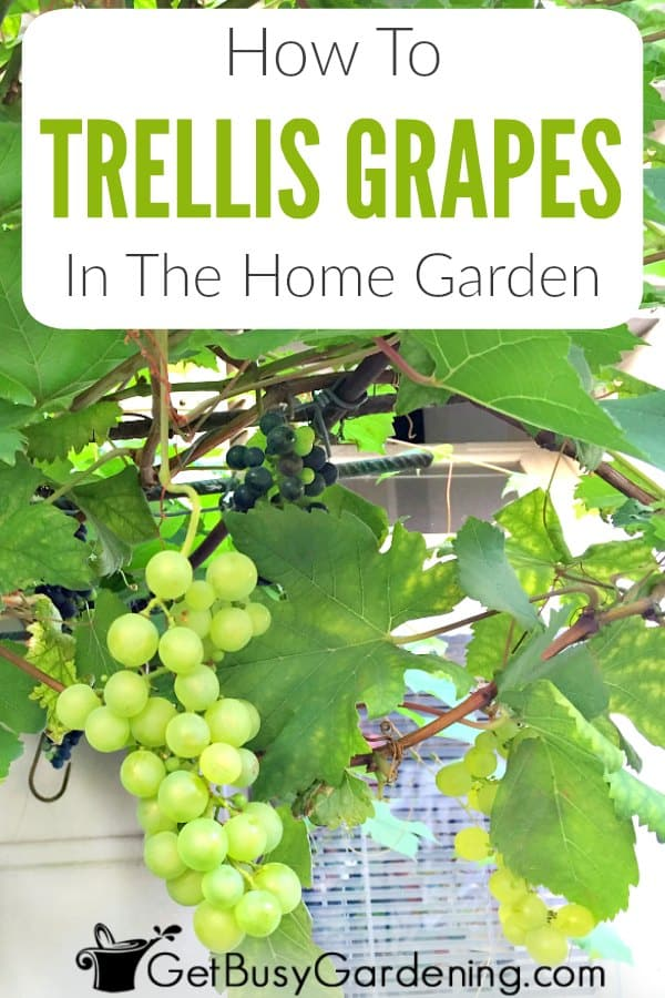 Grapes are climbing vines that make wonderful privacy screens when trained on a trellis, or growing on an arbor or pergola covering a deck or patio. It's not hard to grow grapes at home in your backyard for wine making or snacking. But it is important to know how to trellis grapes in order to produce a healthy crop. Learn how to grow grape plants on a trellis or other garden structures.
