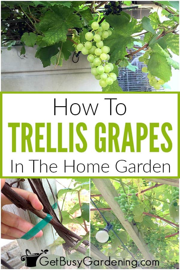 How To Trellis Grapes In The Home Garden