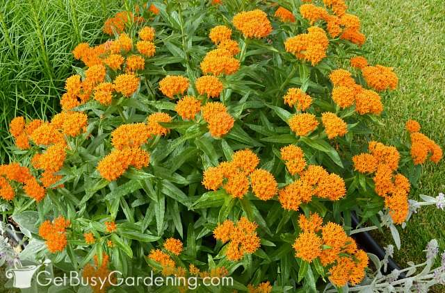 Butterfly weed flower growing in my garden