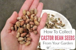 How To Collect Castor Bean Seeds