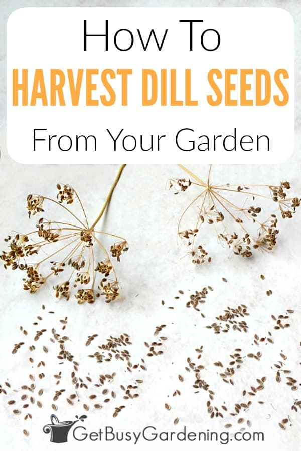 If you love growing dill, take a little for harvesting and drying dill seeds from your garden. They are fun to share with friends or trade for other seeds. Best of all, you'll never have to buy dill seeds again! In order to get seeds, you must allow the plant to flower first. Saving dill seeds from your garden is easy and frugal! Learn exactly when and how to harvest dill seeds, and what to do with dill seeds after you're done collecting them.