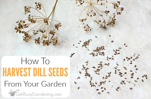 How To Harvest Dill Seeds From Your Garden