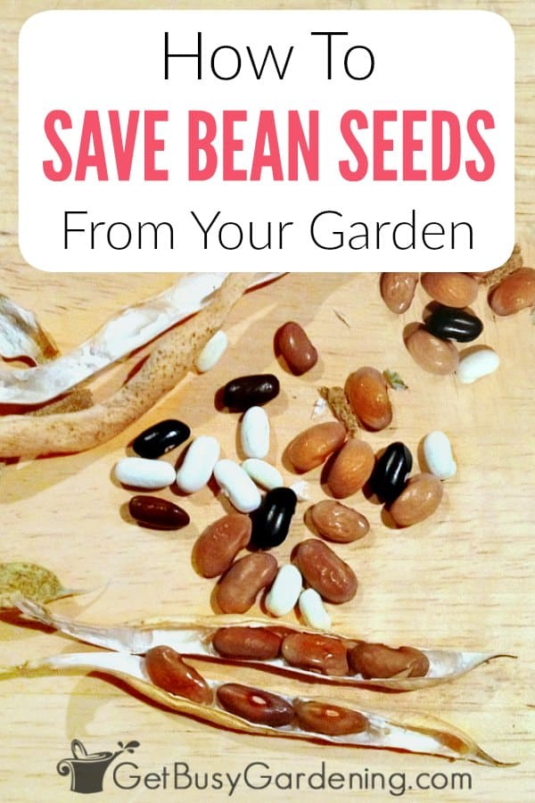 If you want to collect seeds from your garden, bean seeds might just be the easiest to start with. Learn exactly when to harvest beans for seed, how to save bean seeds for next year step-by-step, and also how to store the seeds until spring. Saving bean seeds from the garden is fun and easy, and it doesn't take much time. You can store them for planting next year, and share them with friends!