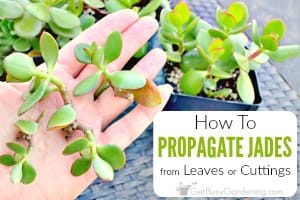 How To Propagate Jade Plant Cuttings