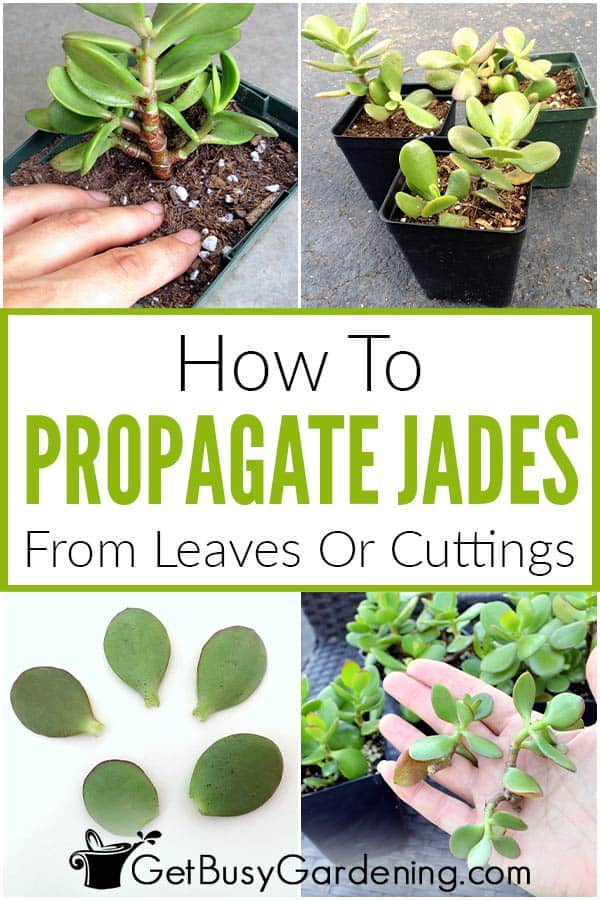 How To Propagate Jades from Leaves or Plant Cuttings