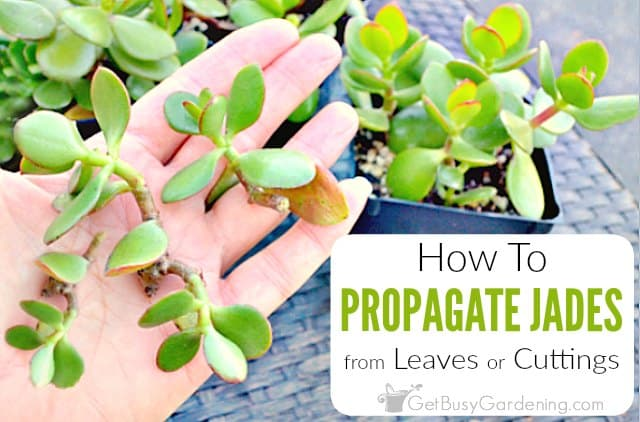 How To Propagate Jade Plant Cuttings Get Busy Gardening