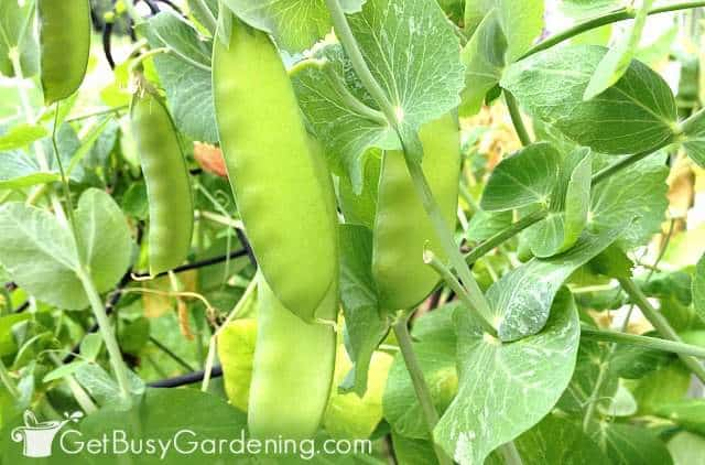 Peas growing in my garden