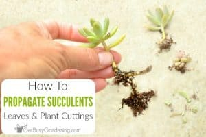 How To Propagate Succulents From Cuttings