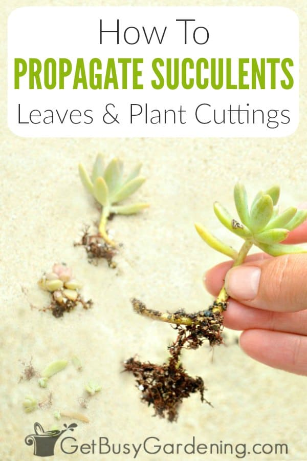 How To Propagate Succulents: Leaves & Plant Cuttings