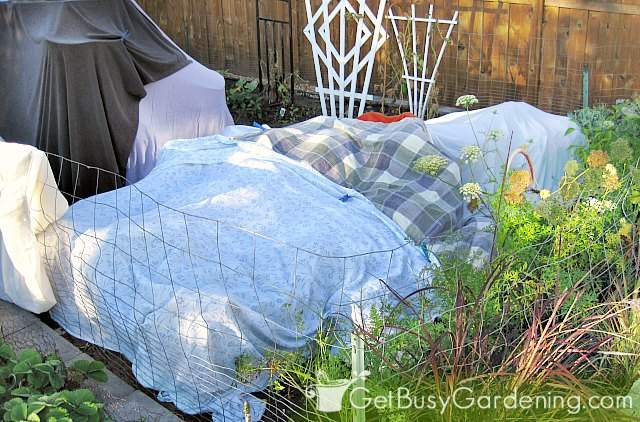 Protecting plants from frost using old bed sheets