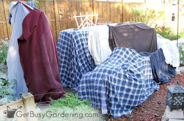 Using blankets and sheets as frost covers for plants