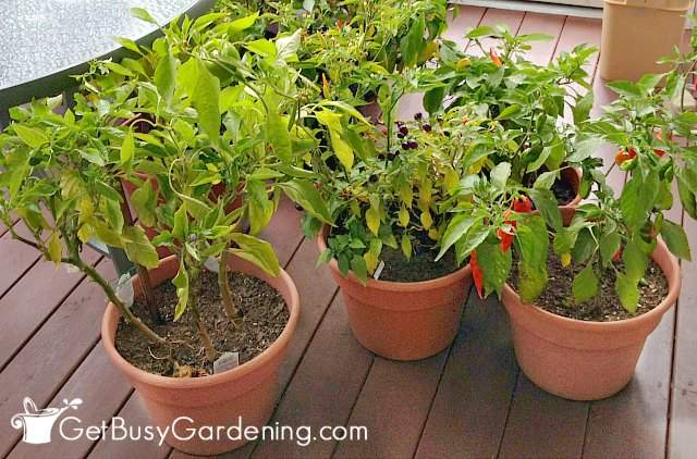 Bringing pepper plants indoors for winter