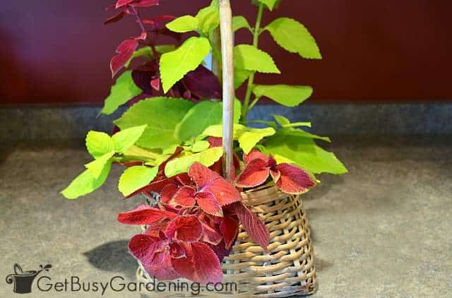Coleus plant indoors for winter