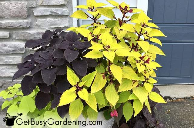 Growing coleus in containers outdoors