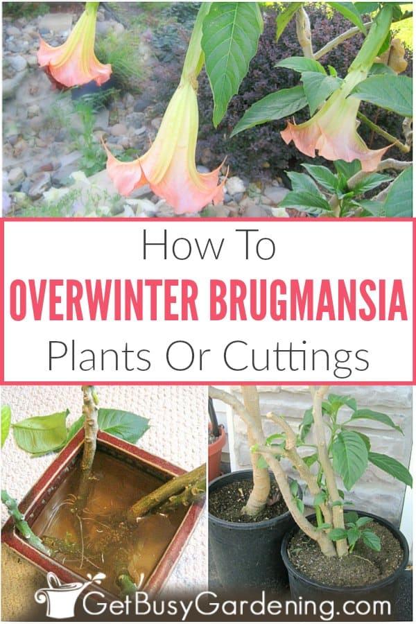 How To Overwinter Brugmansia Plants Indoors
