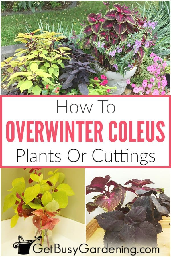 How To Overwinter Coleus Plants Or Cuttings