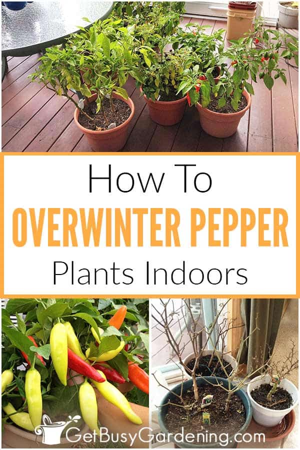 How To Overwinter Pepper Plants Indoors