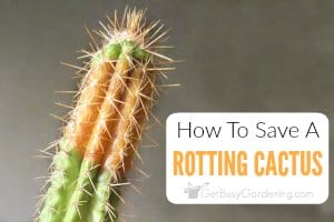How To Save A Rotting Cactus Plant