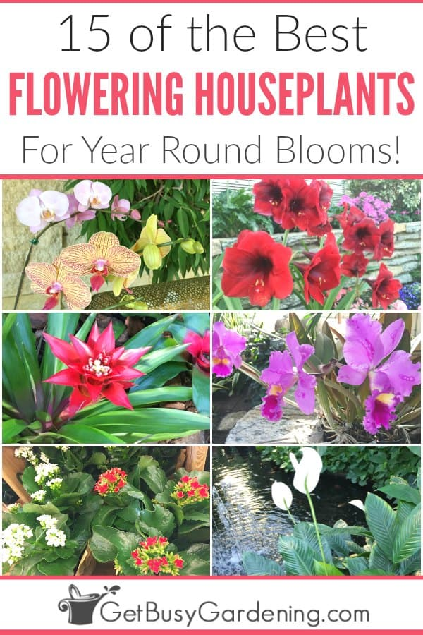 Grow beautiful blooming houseplants in planters or hanging baskets all year long with this fun list of indoor flowering plants! Here you will find 15 types of easy-care indoor plants your home - like peace lily, Christmas cactus, and lots of other winter flowering houseplants. Some are low light plants, and others will thrive on a sunny window ledge. Plus get simple tips for how to grow them, including lighting, water, fertilizer and pest control.