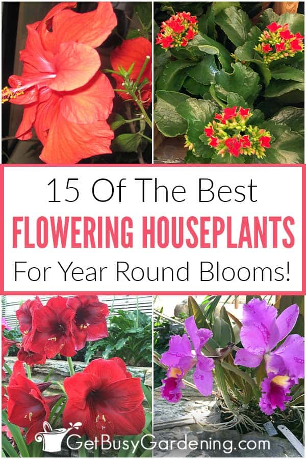 15 Of The Best Flowering Houseplants For Year Round Blooms!
