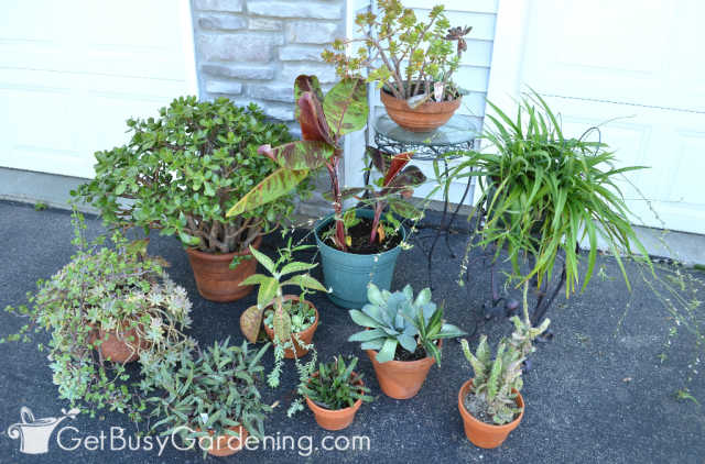 Houseplants outside during the summer can cause indoor infestations