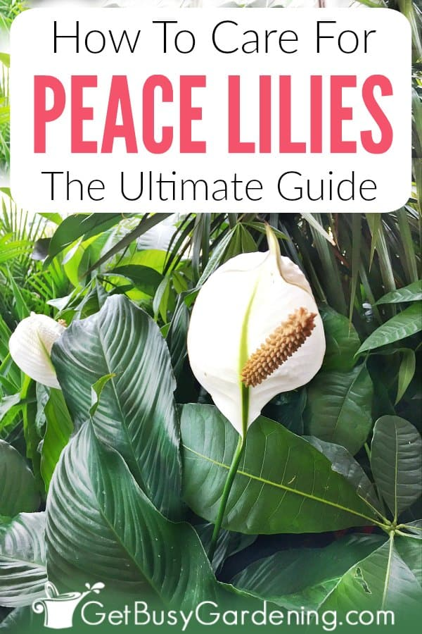 How To Care For Peace Lilies: The Ultimate Guide