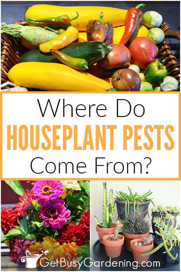 Where Do Houseplant Pests Come From?