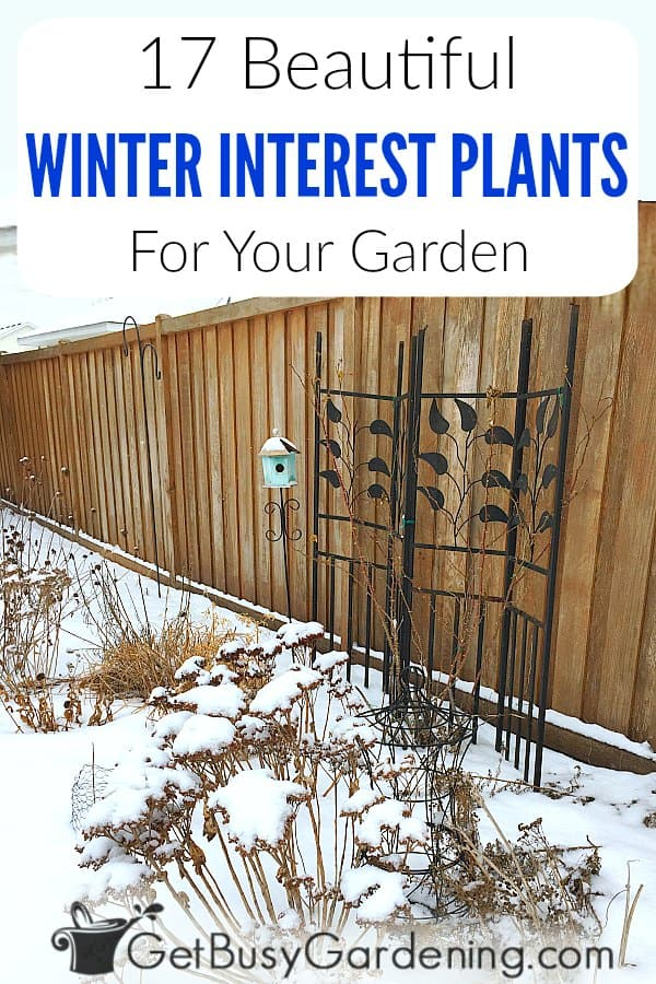 Don't let the cold weather get you down! Winter interest plants are a wonderful addition to any snow-covered garden. Not only do they add beauty to the winter garden, they also provide food for wildlife, and allow us to enjoy our garden all year round! Learn what it's all about, get tons of tips for creating your own winter interest garden, and a list of my favorite plants and shrubs with winter interest.