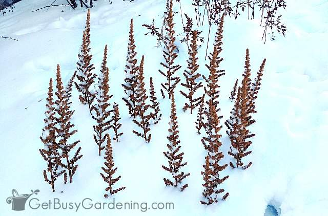 Astilbe flowers poking out of the snow in winter