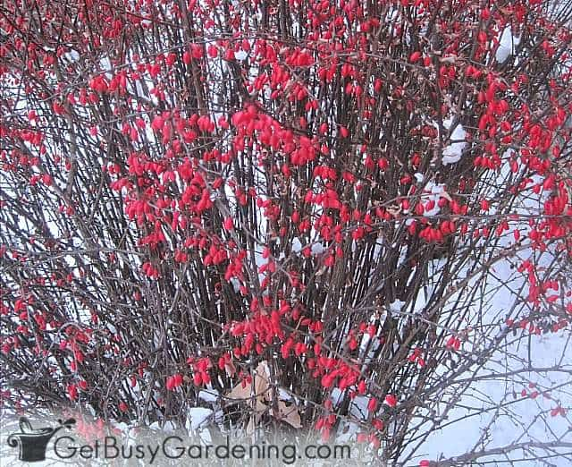 Barberry bush covered in bright red berries in winter