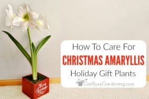 How To Care For Christmas Amaryllis Flower Bulbs