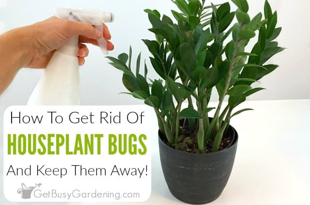 How To Get Rid Of Bugs On Houseplants Get Busy Gardening